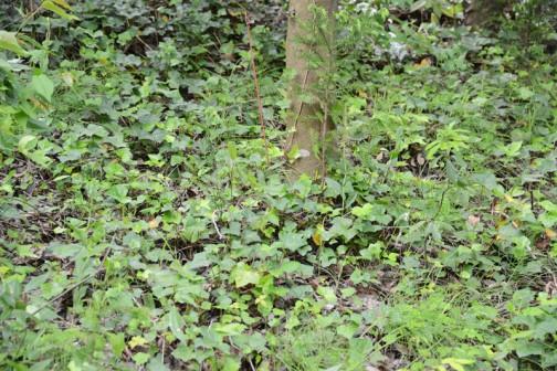 キンラン(金蘭、Cephalanthera falcata)はラン科キンラン属の多年草で、地生ランの一種。和名は黄色(黄金色)の花をつけることに由来する。  特徴 山や丘陵の林の中に生える地上性のランで、高さ30-70cmの茎の先端に4月から6月にかけて直径1cm程度の明るく鮮やかな黄色の花を総状につける。花は全開せず、半開き状態のままである。花弁は5枚で3裂する唇弁には赤褐色の隆起がある。葉は狭楕円形状で長さ10cm前後、縦方向にしわが多い。柄は無く茎を抱き、7、8枚が互生する。