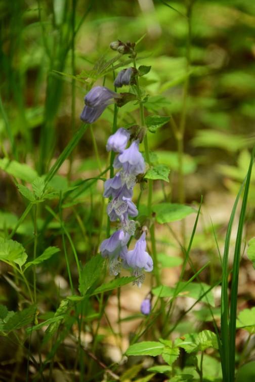花の形と色からシソの仲間は間違いなさそう。特長は花が縦に並んで咲くこと。これはおもしろい・・・調べてみるとこういう咲きかたをするシソの仲間はそんなになく、ラショウモンカズラじゃないかと思います。