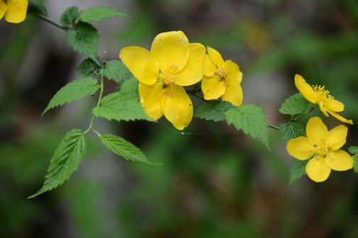 山吹色のヤマブキ。山はこの黄色でいっぱいです。
