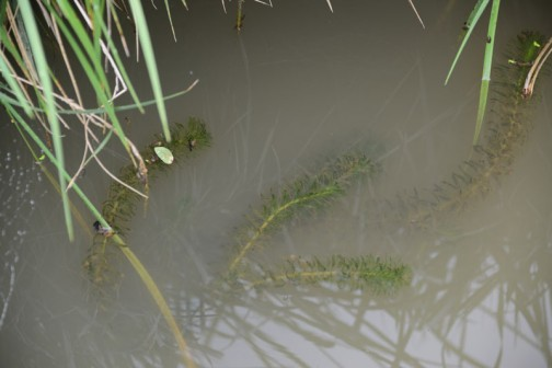 水路の中にはオオカナダモでしょうか・・・水草が見えます。