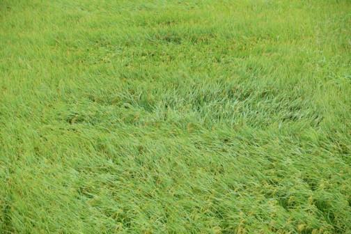 あの竹のように強い飼料稲の田んぼにも珍しく穴があいています。台風すごいな。