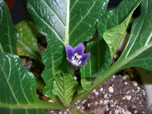 これがマンドラゴラ。何だか普通の植物です。(ウィキペディアより)