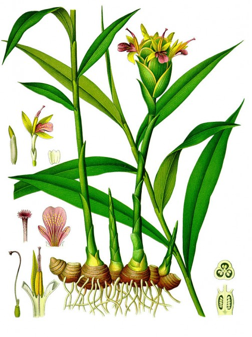 絵ですけど、花の絵もありました。ちょっとミョウガの食べる部分に似てます。(ウィキペディアより)