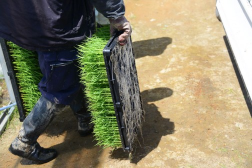 稲の根っこがものすごい勢いで裏に飛び出してます。こんなに太いものだとは・・・モヤシみたいじゃないですか!