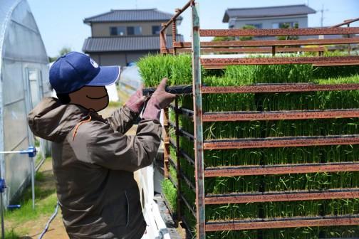 苗を軽トラに積みます。このハウス→軽トラック→田んぼの流れは、日本ではもう確立したシステムという感じ。