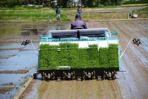 稲刈の時が間に合わなくなっちゃうので、飼料稲の品種普通のものと遅いものの2種。この先には暑い盛りの稲刈が待ってます。ひゃ〜。