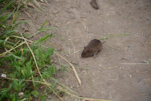 生き物ついでに・・・機械の振動に驚いて僕の目の前に飛び出してきたネズミ。野ネズミ?初めて見た!