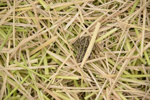 ・・・カエルが一本の藁の下に隠れていました。