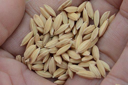 だつぼー後の種籾、拡大写真。