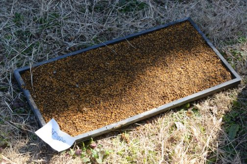 種が膨大に余ったので、庭にどっかから飛んできた苗箱についでに播いてみました。