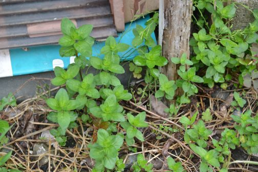 刈った草が黄色くなるかならないかのタイミングで日本ハッカの芽が一斉に出てきます。「今刈ればどっとハッカの芽が出る」というのが(経験則から出たものですがの)確信になりつつあります。