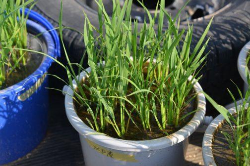 5/18水戸産あきたこまち。あ!ちょうど水戸産と書いたテープで貼っているあたりの茎が増えてます!