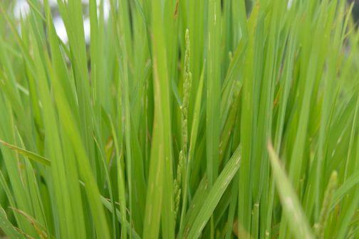 やっと稲穂が見えてきました。富山産の種籾から出た苗も同じです。目標は8/2日。(本当は8/1に収穫して8/2に食べたい)あと一ヶ月もしないうちに、本当にお米が収穫できるのでしょうか?イメージとしてはかなり遅れ気味・・・おじまさんがコメントをしてくれたように、穂ができてから収穫まで2ヶ月もかかるようだと圧倒的に遅れている・・・ということになりますが・・・
