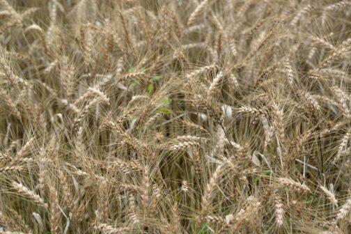 Aさんのところの小麦です。確か品種を聞いたと思ったのですが、忘れてしまいました。