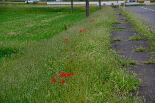 この場所は草刈りのタイミングがズレて雑草に埋もれてしまっています。ヒガンバナは突然咲くので(一晩で咲いてしまうイメージ)、草刈りのタイミングと合わない場合があります。