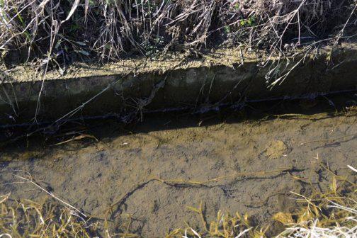 この水路は冊板が縦に3枚入っていると思うのですが、見えるのは1枚だけで、後は泥に埋まっています。これは今年度のうちに泥上げする予定です。アシカキやこの泥を除去してしまうとメダカなどの魚の産卵場所がなくなってしまうので