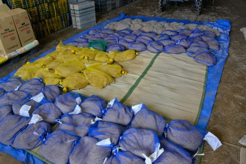 播く種は4種類。今は黄色の飼料稲の種を播く作業中です。