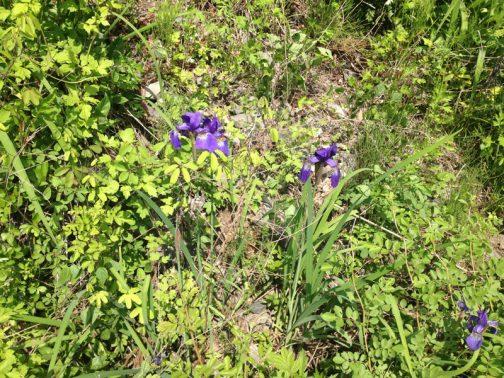 しかし、僕の見たこのアヤメ風(と現時点では言っておきます)の花は、埃っぽく乾いた場所に咲いていました。