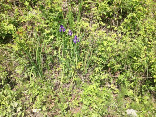 今日はいつもと趣向が違います。 キャンプに行った山の林道で見慣れた(と、感じた)花を見つけました。茨城県に住んでいるとこの花を見て真っ先に思い浮かぶのは水郷潮来です。ここには水郷潮来あやめ園というのがあって水郷潮来あやめまつりというお祭りまであるんです。もう、あやめ=水郷=湿ってる・・・というのが僕の中の常識でした。