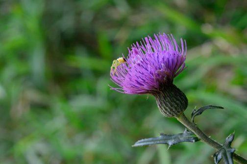 こちらはノアザミ。ほんの少しだけ咲いていました。ノアザミはウィキペディアによるとノアザミ(野薊、学名: Cirsium japonicum[1])はキク科アザミ属の多年草。ということです。