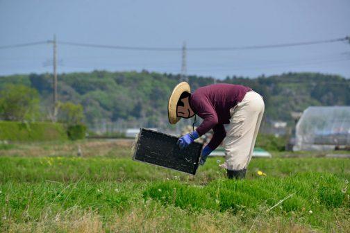 細かい仕事も皆男の人がやります。使い終わった苗箱に付いた根っことかも取るんですね。