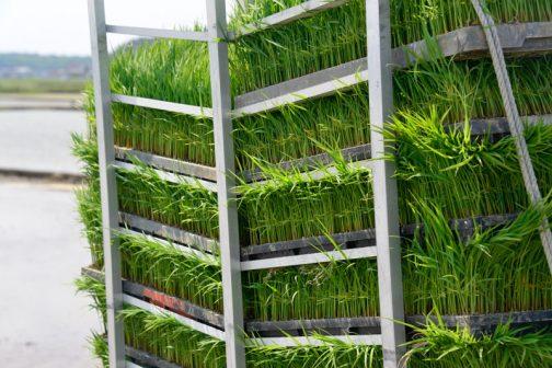 飼料稲の苗です。伸びすぎてしまったのだそう。