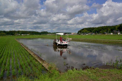 回りの稲はずいぶんと大きくなってしまっている中での田植えです。