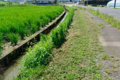 実は人手による草刈りは一回飛ばしてしまったので、機械で刈れない水路の際などは2回分伸びてしまっています。今週末活動を予定していますが、暑さもあるしちょっとキツくなりそうです。