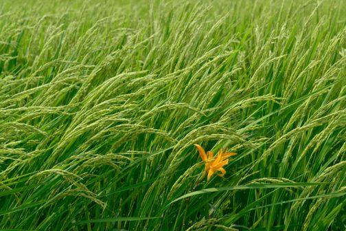 機械で刈るようになってからノカンゾウは畦部分から次第に稲のほうに押しやられてしまっています。稲穂と一緒に揺れるオレンジの花。