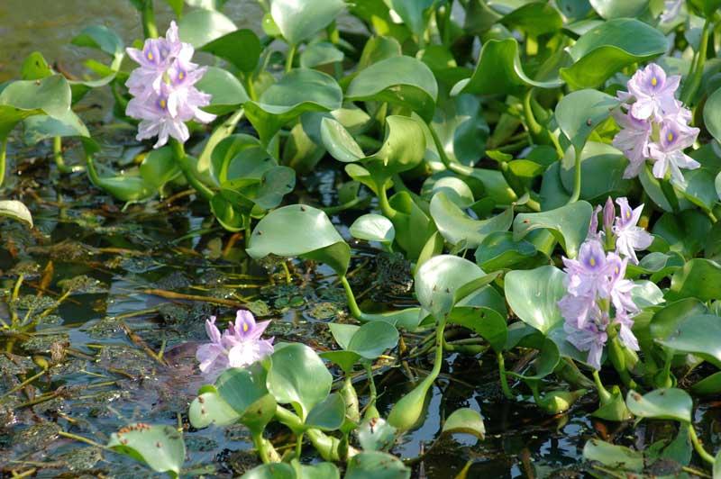 ホテイアオイの花、結構きれいでしたね。今は水路で見かけることはありません。