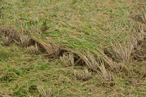 稲は風で倒れたので、一方向に向かっています。倒れた稲に向かっては刈れないので、左奥、右奥に向かって行ってはバックして戻りでの収穫です。単方向・・・というわけですね。