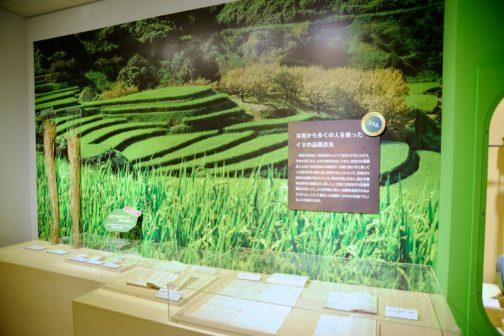 ここが稲のスペース。常設展示ではもっともっとたくさんあるのですが、この特別展では、こことポツポツとパネルくらいだったかと思います。