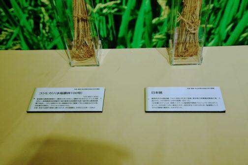 左:コシヒカリ(水稲農林100号) 新潟県立農事試験場で、「農林22号」を母とし、「農林1号」を父として人工交配を行ない、長岡農事改良実験所や福井農事改良実験所を経て福井県立農事試験場で育成し、1953(昭和28)年に雑種第8代に「越南17号」の系統名を付け地方的適否を検討し、コシヒカリと命名された。 少肥、多収で品質や食味に優れるため、作付面積は、35年以上日本一である。 右:日本晴 暖地向きの水稲品種。1963(昭和38)年に登録。愛知県の県農業試験場で育成された。1970年代には作付面積一位だった。 「日本晴」のゲノムは、国際イネゲノム塩基配列解読プロジェクト(IRGSP)によって、2004年12月に解読された。染色体全12本の内6本、塩基数にして55%の領域の解読を、日本が行なった。