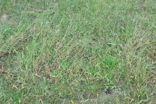 """草ボーボーになっていて「あ""""〜〜〜〜草刈りしなくちゃ」と、思っていたので、そのくらいは草が生えていたはずなんです。その証拠に水を被っていないイネ科の雑草はこんなに元気です。"""