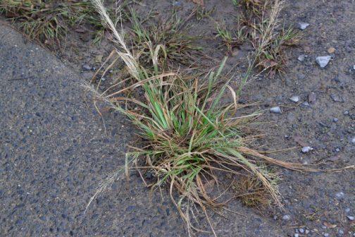 背が高くなっている草はちょっと水に浸かったくらいでは元気で、背の低い草が枯れたのかな・・・