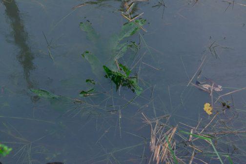 未だ全部水に浸かっている草は枯れている様子がありません。