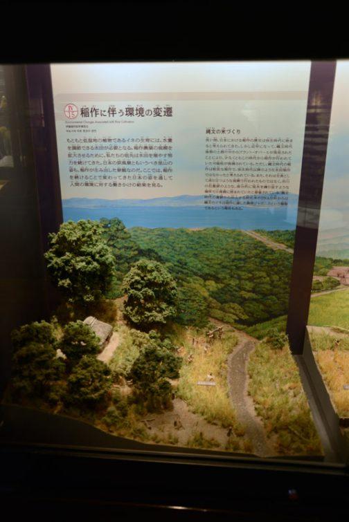 稲作のジオラマも・・・ 稲作に伴う環境の変遷 もともと低湿地の植物であるイネの生育には、水量を調節できる水田が必要になる。稲作農業の希望を拡大させるために、私たちの祖先は水田を増やす努力を続けてきた。日本の原風景ともいうべき里山の姿も、稲作が生み出した景観なのだ。ここでは、稲作を続けることで変わってきた日本の姿を通して人間の環境に対する働きかけの結果を見る。