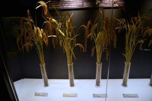 左端:赤毛 採用年:1905(明治38)年←読みにくいので間違っているかも 北海道での稲作開始期に用いられた在来種。 左から2番目:坊主 採用年:1909(明治42)年 赤毛から改良された品種で、栽培可能地が飛躍的に拡大した。 その隣は走坊主と続く