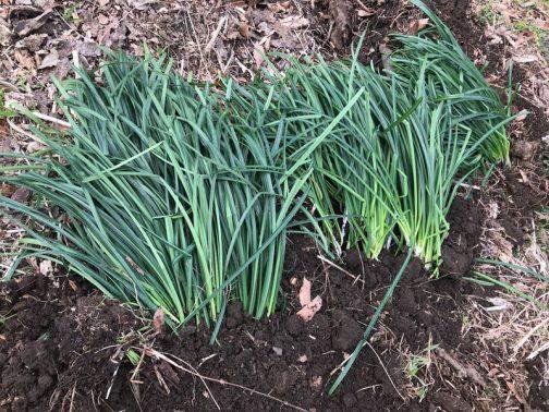 Aさんはヒガンバナをプランターで育てていて、増えすぎたヒガンバナを捨てるところだったそうです。とても立派な球根を100球ほどいただいてきて、とりあえず庭に穴を掘っていけておきました。それにしてもニラと見まがうようなヒガンバナです。田んぼの法面に植えたものは、どんなに条件が良いところもこんなに大きくなっていません。