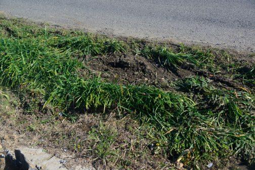 このようすなら大したケガもしなかったでしょう。ヒガンバナは丈夫だしまた植えればいいですけど、もしケガでもしたら当人も大変です。