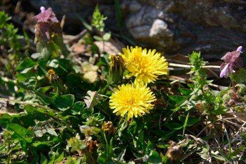 タンポポの花も少ないような気がするし、それぞれの植物が冬の終わりが暖かかったために「春」の判断ができず、おずおずと出てきているような気がします。