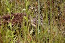 鴨の目は怖かった 草むらに潜む鴨の親子の写真
