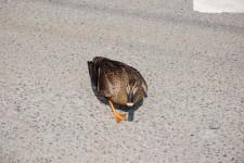 道の真ん中でぐるぐる回るお母さん鴨の写真