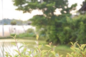 昔の人に言わせれば、どこが蚊柱?といったものだそうです