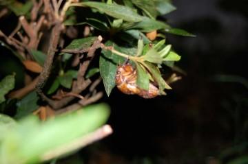 ↑ クリックで拡大します アブラゼミの幼虫を見つけました 中身が入っていそうです 眠気がいっぺんに吹き飛びました