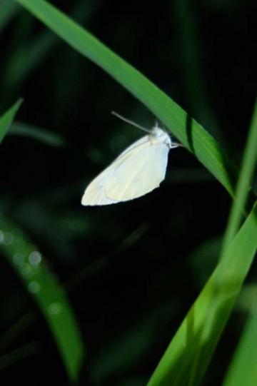 ↑ クリックで拡大します 多分寝ているのでしょう モンシロチョウでしょうか?白い蝶です こちらもこんなに近づいてもぴくりともしません