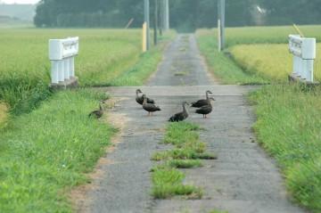 道路横断中のカモ。やはり30Mの距離で対峙しています。もちろん気がついているのでしょうが、素知らぬそぶりです。じりじりと近づいてみます