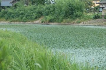 ↑クリックで拡大します 川幅いっぱいに広がり、一面を埋め尽くす水草
