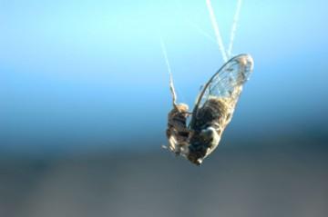 まだまだ残暑は厳しいですが、クモにやられなくても、役目を終えたセミがあちこちに横たわっています。
