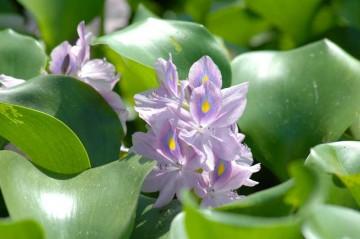 ウォーターヒヤシンスとも呼ばれるそうですが、確かに紫の花はヒヤシンスにそっくりです。